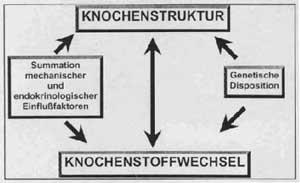 Knochenstruktur Diagramm